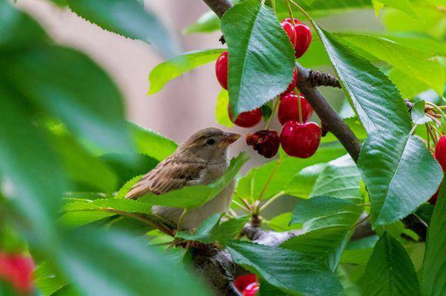 Защита от пернатых. Как сберечь урожай от птиц? photo