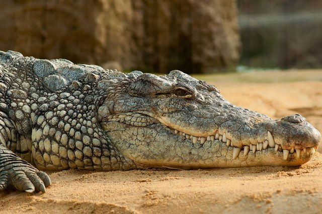 В Новосибирске прохожие ловили сбежавшего циркового крокодила