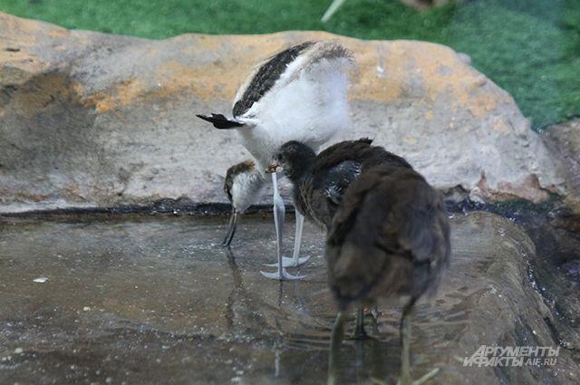 В зоопарке Удмуртии появилась шилоклювка