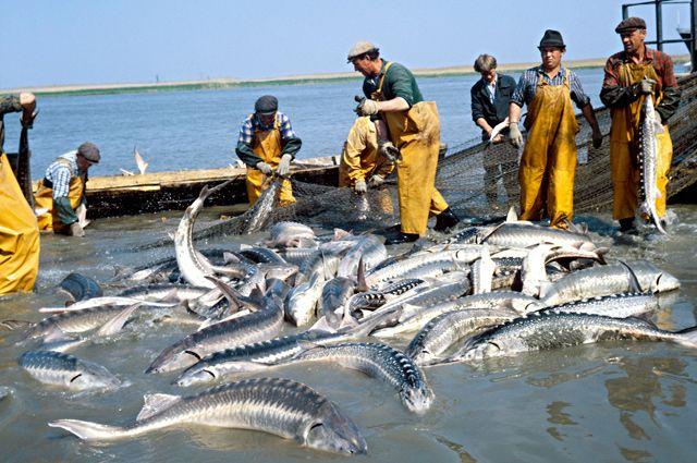 Лов осетровой рыбы на реке Волге.