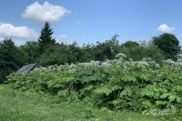 В Глазовском районе около 1200 га земли очистят от борщевика