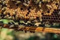 Опытные пчеловоды винят в происходящем фермеров, которые для сохранения урожая используют вредные для пчел яды.