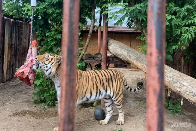 Амурский тигр Агат за один день съедает 11,5 кг мяса.