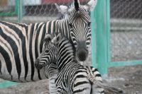 Новый павильон для африканских животных  будет самым высоким и технически сложным в новосибирском зоопарке.