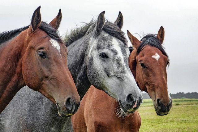 Попытку вывоза табуна лошадей в Казахстан пресекли на омской границе