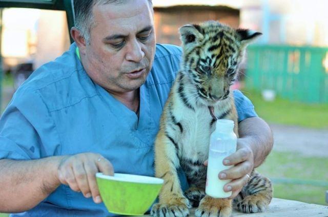 Травмированный в Бузулуке тигренок находится на лечении в Челябинске
