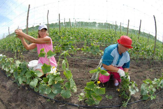 Скоро жители края будут есть овощи, выращенные местными аграриями