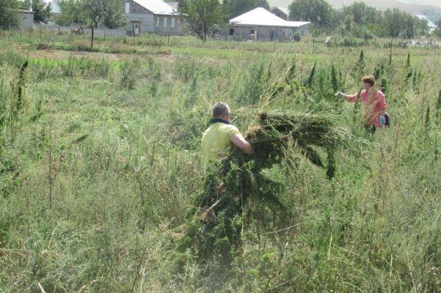 В Казанском районе полиция уничтожила семь участков конопли