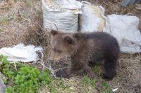 В Пуровском районе исхудавшие медвежата клянчат еду у водителей