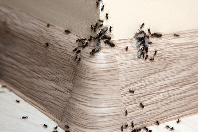 Летающие муравьи — хитрости борьбы