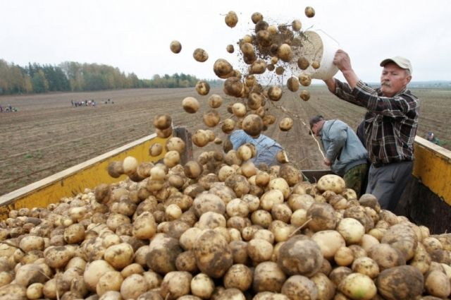 В тюменском селе наладят производство картофельных шариков