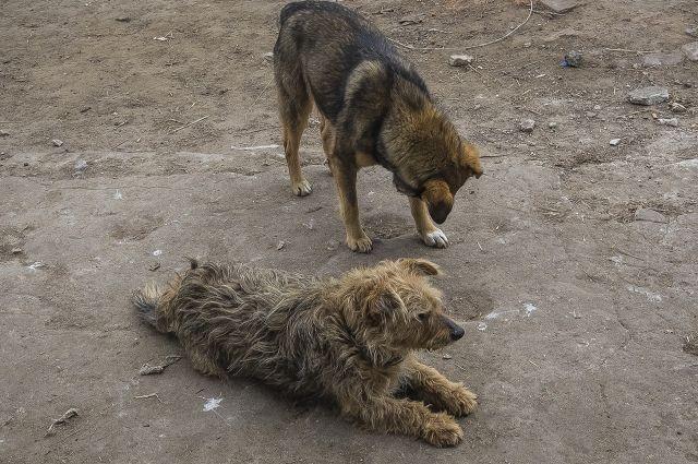 Стая бродячих собак пугает жителей Тарко-Сале