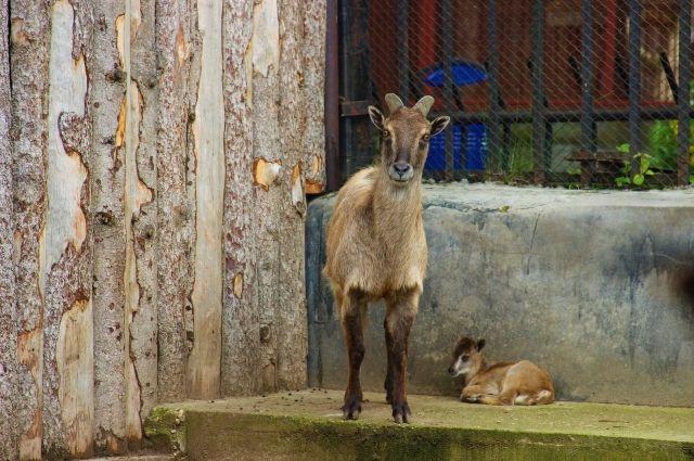 В зоопарке Перми стадо гималайских таров живёт уже больше десяти лет.