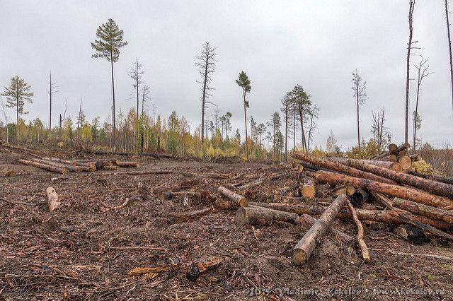 В Кваркенском районе «черные лесорубы» оштрафованы на миллионы