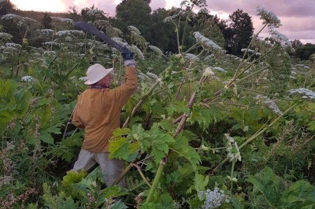 Житель хутора Кудринка Виталий Петсон уже много лет сражается с борщевиком.