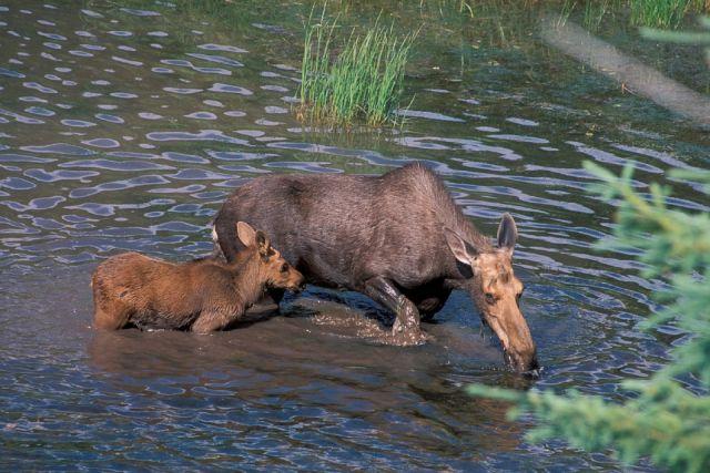 До августа у животных идёт сезонная миграция.