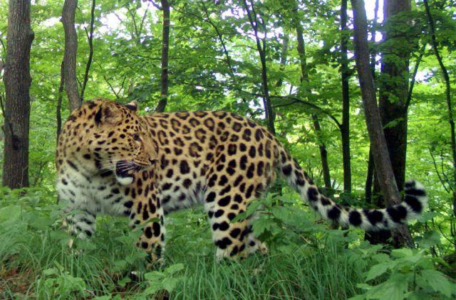 Леопард Валера обходит свой участок тайги.