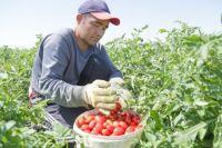 Легальные фермеры не в состоянии конкурировать с «серыми» теплицами.