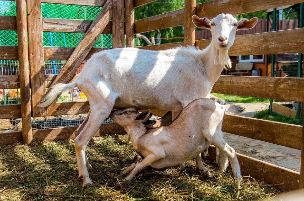 Пасторальная картинка. Козленок и мама-коза.