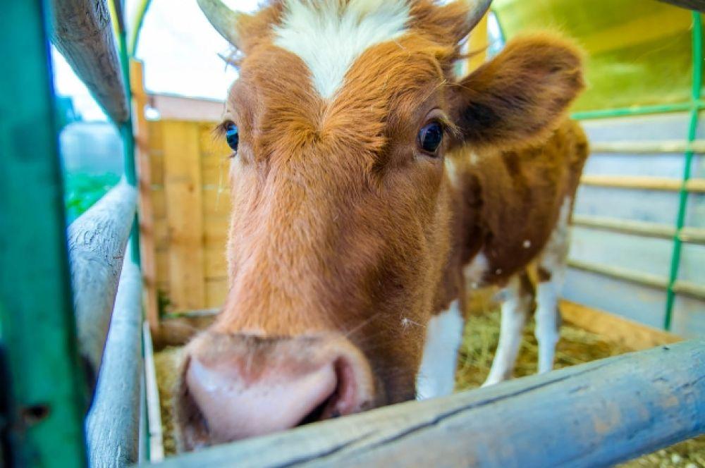 Корова очень дружелюбная.
