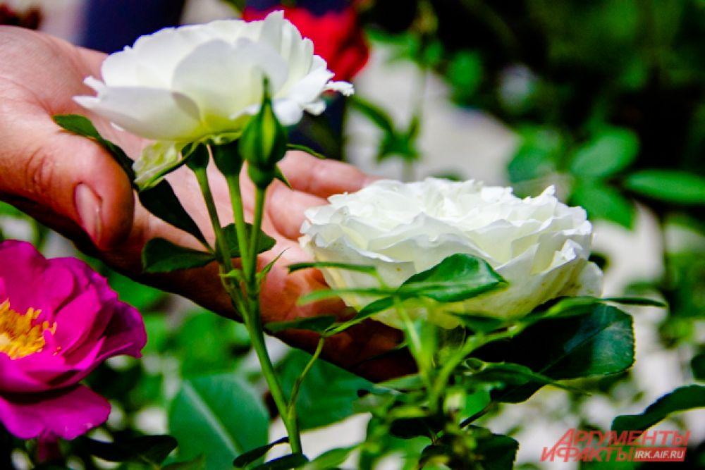 розы мускусные Waterloo