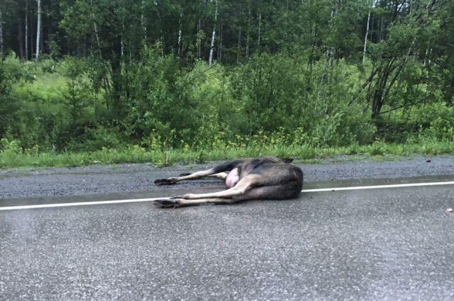 Тело животного нашли рядом с автомобильной дорогой.
