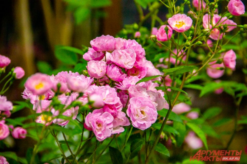 розы мускусные Heavenly Pink