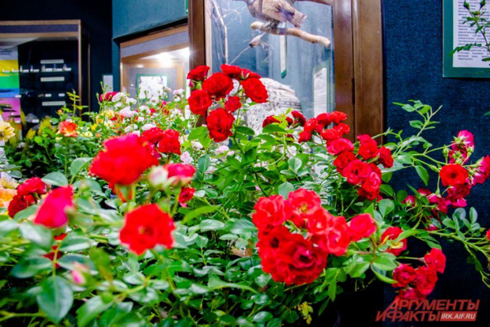 Почвопокровная роза «Скарлет Мэй»