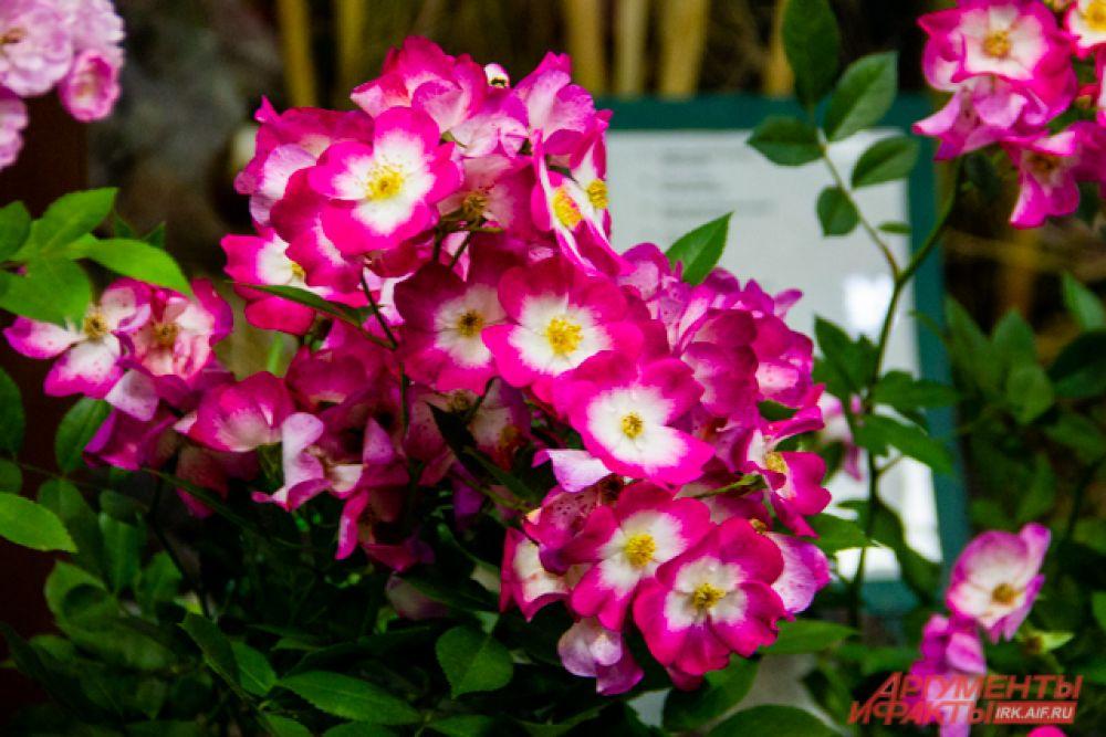 Мускусный гибрид розы Bukavu
