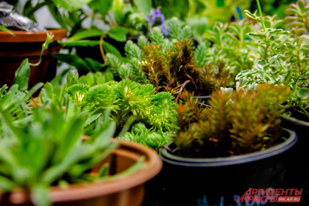 Очитки или седумы - стелющиеся многолетние почвопокровные растения для имитации каменистых гор