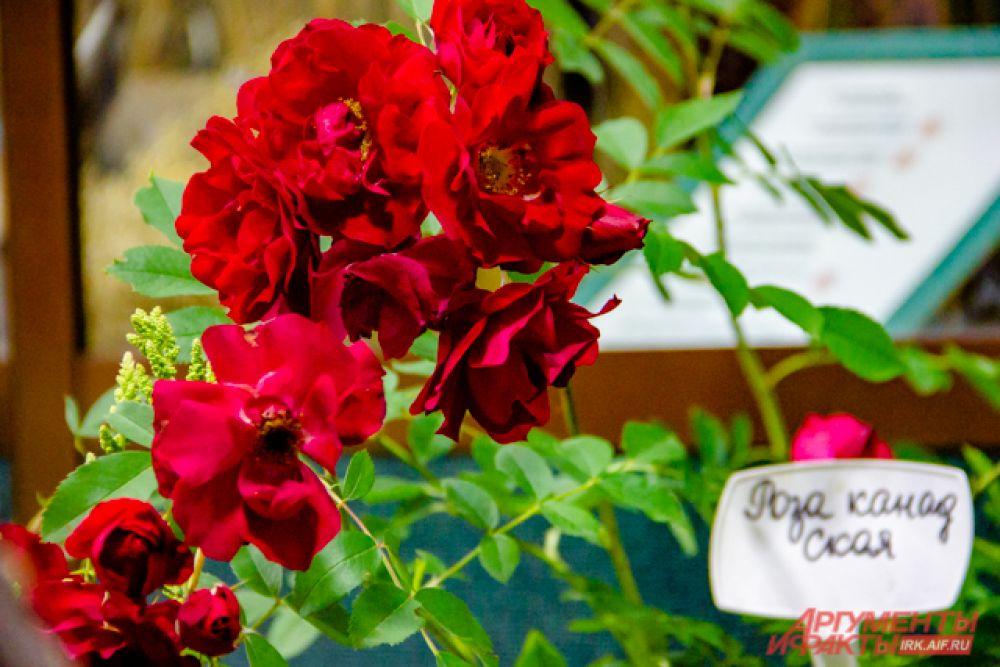 Кустарниковая роза «Супер Трупер»