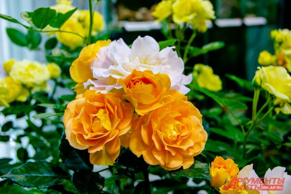 Кустарниковая роза «Анни Дюпрей»