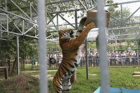 Клетка с тигром Шерханом