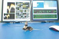 Ишемический инсульт у крысы и человека проходит по одной и той же схеме.