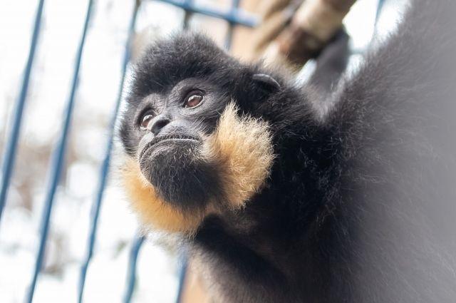 Редкий гиббон с желтыми щеками и хохолком поселился в зоопарке Новосибирска