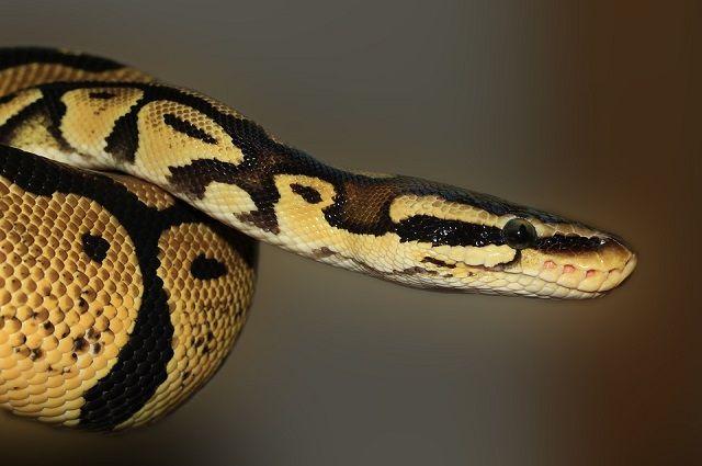 Рептилия была длинной – примерно полтора метра в длину.