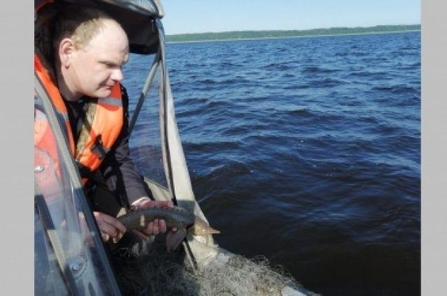 Сотрудники полиции освободили и выпустили снова в реку 64 экземпляра сибирского осетра, занесенного в Красную книгу, и еще 25 экземпляров стерляд