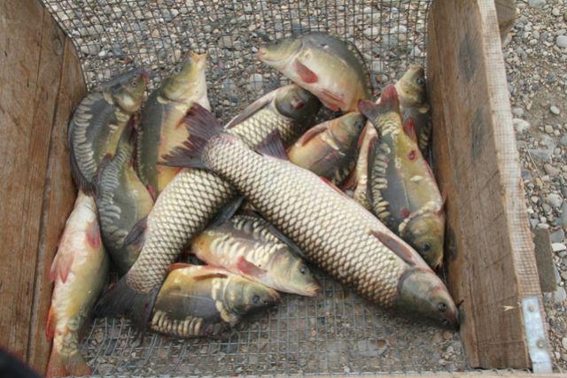 В рыбных хозяйствах новосибирской области стало больше ценных видов рыбы.