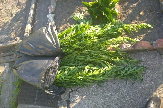 Житель Краснознаменска выращивал коноплю в теплице