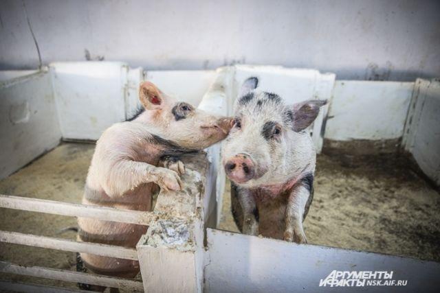 Тысячи свиней не выпустят на выгул 30 дней.