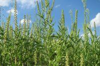 В августе на Кубани началось цветение амброзии.