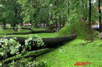 6 августа из-за сильного ветра упало много деревьев.