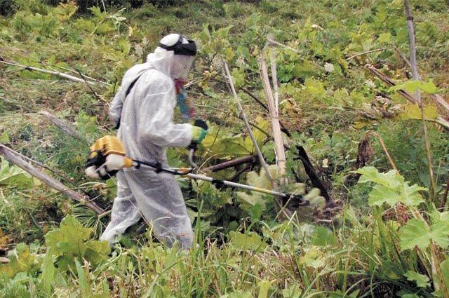 Борьбу с борщевиком начинают ранней весной, когда растения только начинают отрастать.