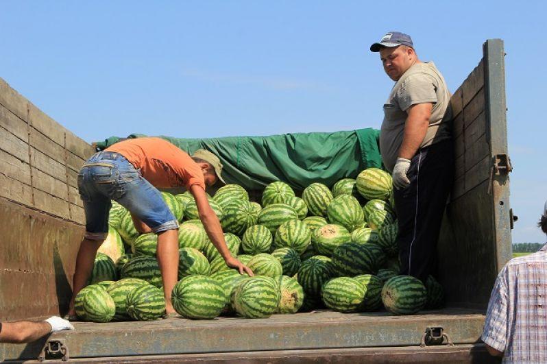 Сбор сладкой ягоды – трудоемкое занятие, работники вручную наполняют тяжелыми плодами грузовые машины и прицепы.
