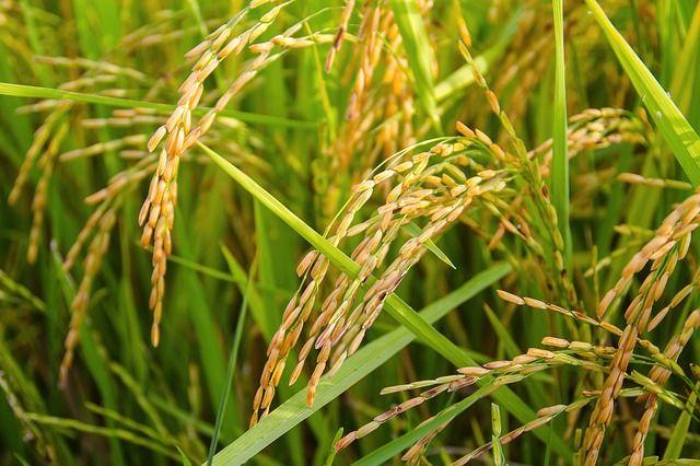 В порту Балтийска обнаружили 25 тонн заражённого риса