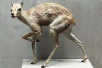 Олень-микромерикс весил всего 5 кг.