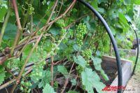 С одного куста винограда ягоду можно снимать вёдрами.