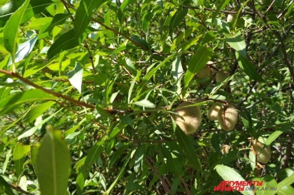 Оказывается, это миндальное дерево. С плодами, конечно же.