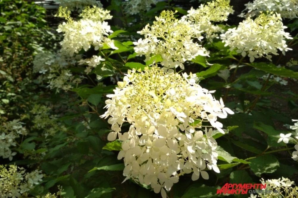 Думаете, эти цветы пахнут? Нет! Это гортензия, а она запаха не имеет.