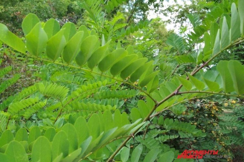 Это милое растение - белая акация. Хватать не рекомендуется - острые шипы.